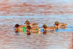Ducks at lagoon at Dungeness National Wildlife Refuge 2