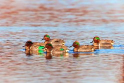 Ducks at lagoon at Dungeness National Wildlife Refuge 2