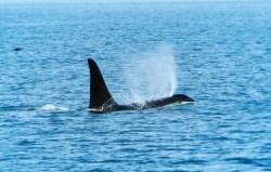 Orcas in Strait of Juan de Fuca 1