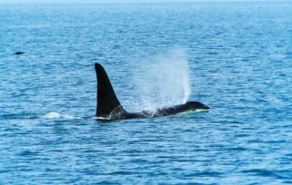 Orcas in Strait of Juan de Fuca 1