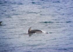 Pacific White Sided Dolphin in Strait of Juan de Fuca 1