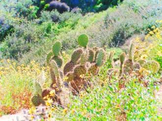 Cactus at Cabrillo National Monument 1