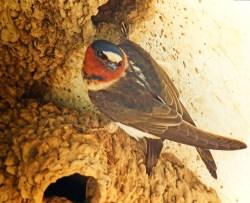 Cliff Swallow at Mission San Juan Capistrano 1