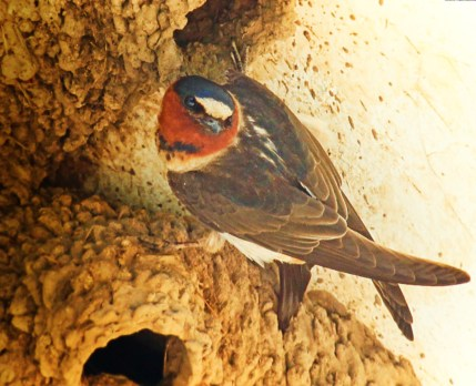 Cliff Swallow at Mission San Juan Capistrano 1