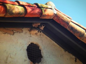 Cliff Swallow nests at Mission San Juan Capistrano 1