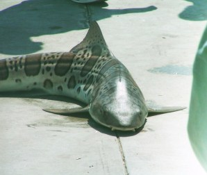 Leopard Shark caught on Manhattan Beach Pier 1