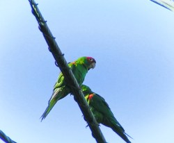 Parrots of Telegraph Hill San Francisco 1