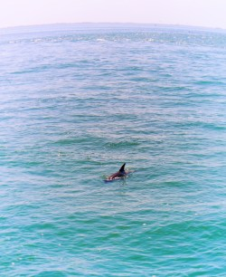 Dolphin from Pier at Fort De Soto Park Campground Pinellas County Florida 2