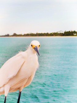 Egret on Naples Beach Pier 2