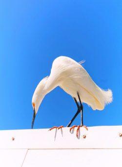 Egret on Pier at Fort De Soto Park Pinellas County Florida 2