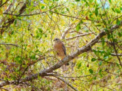 Coopers Hawk in Everglades National Park Gulf Coast 1