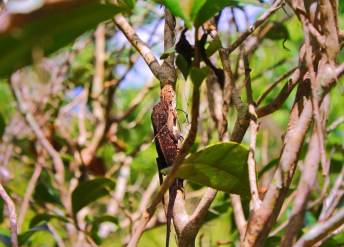Lizards in Ficus in Garden at Rainbow Springs State Park 1