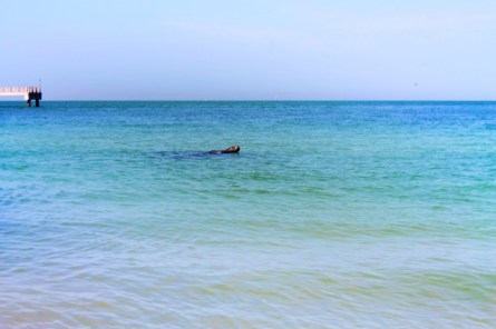 Manatee from Beach at Fort De Soto County Park 1