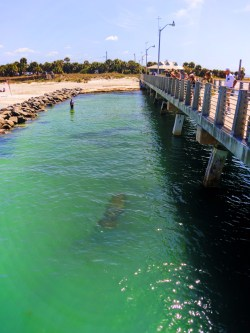 Manatee from Pier at Fort De Soto County Park 5