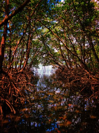 Mangroves at Matanzas Pass Preserve Fort Myers Beach Florida 2
