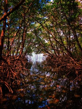 Mangroves at Matanzas Pass Preserve Fort Myers Beach Florida 2