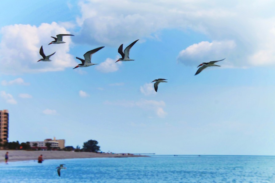 Terns flying at Venice Beach Florida 1