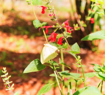 Yellow Butterfly in Garden at Rainbow Springs State Park 1