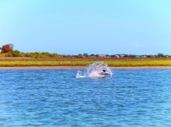 Dolphins in Matanzas River during St Augustine Ecotours 4