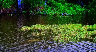 Manatee underwater on Ecotour at De Leon Springs State Park Daytona Beach 1