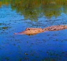 Alligator on Airboat in Mobile Alabama Delta 2b