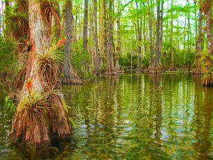 Gator Hook swamp courtesy of Big Cypress National Preserve 1