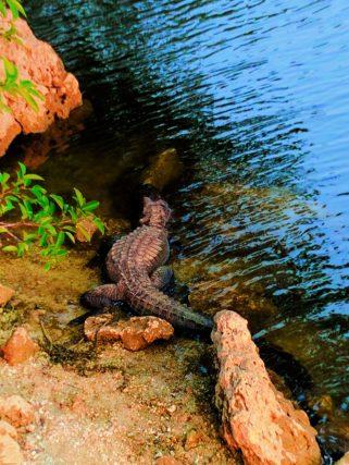 Resting Alligator in Big Cypress National Preserve 2