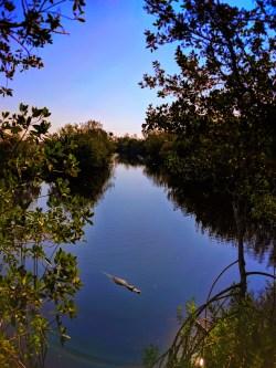 Resting Alligator in Big Cypress National Preserve 8