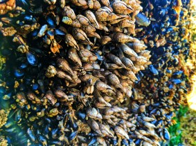 Long neck Barnacles at Ruby Beach Olympic National Park 1