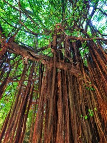 Ancient vines on banyan tree on Paseo del Morro San Juan Nation Historic Site 1