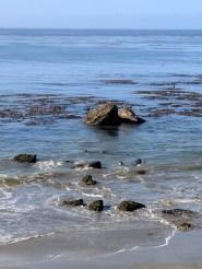 Elephant seal colony San Simeon Cambria 1