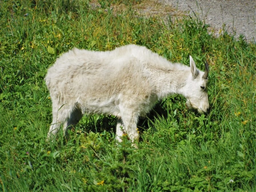 Young Mountain Goat in National Park 1