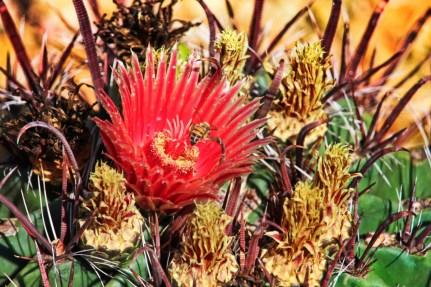 Cactus Flowers at Desert Botanical Garden Phoenix Tempe 11