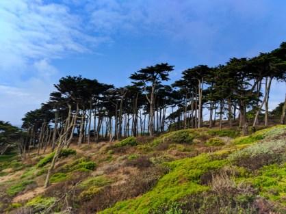 Cypress Trees at Sutro Baths GGNRA San Francisco 2