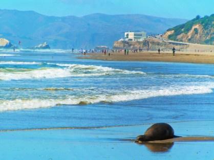 Sea Lion at Ocean Beach San Francisco 1