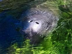 Manatee at Blue Spring State Park Central Florida Paddleboard Orlando