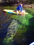 Manatee at Blue Spring State Park Central Florida Paddleboard Orlando 2