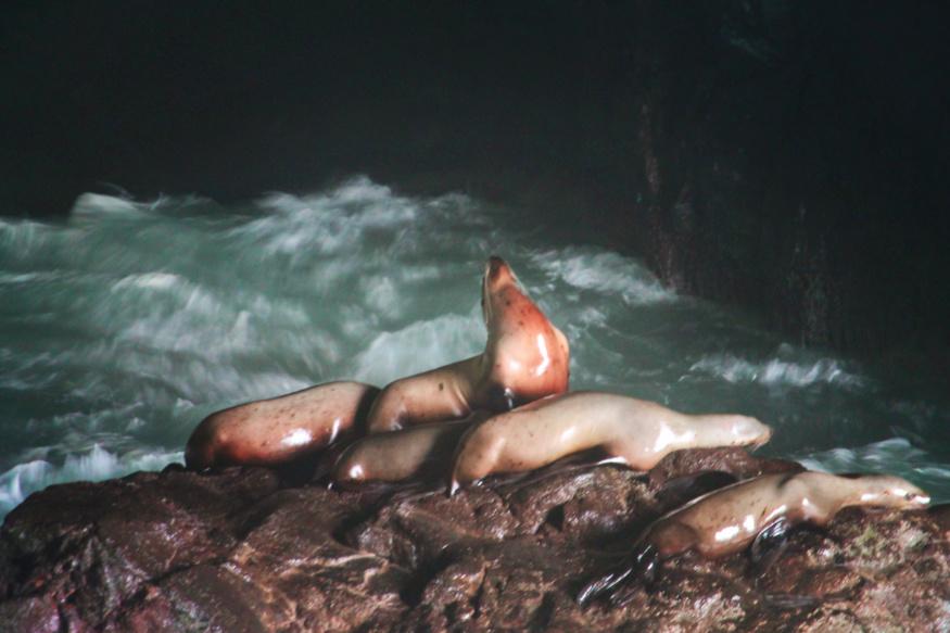 Sea Lions in Sea Lion Caves Florence Oregon Coast 2