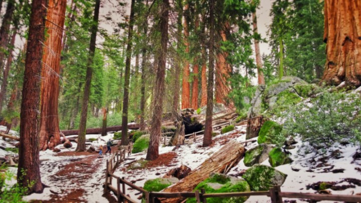 Taylor Family Hiking through Sequoia Trees in Grant Grove Kings Canyon National Park 1