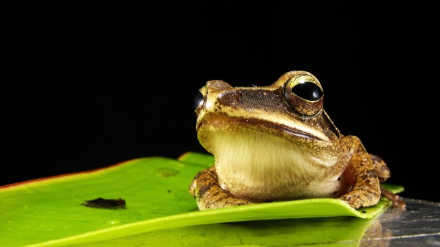 frog-golden-eyes-macro-royalty-free-67290