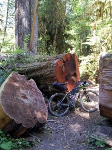 Trail maintenance in an old growth forest is no small feat!