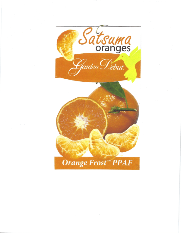 Satsuma Oranges Now at the Nursery | Milberger's ...