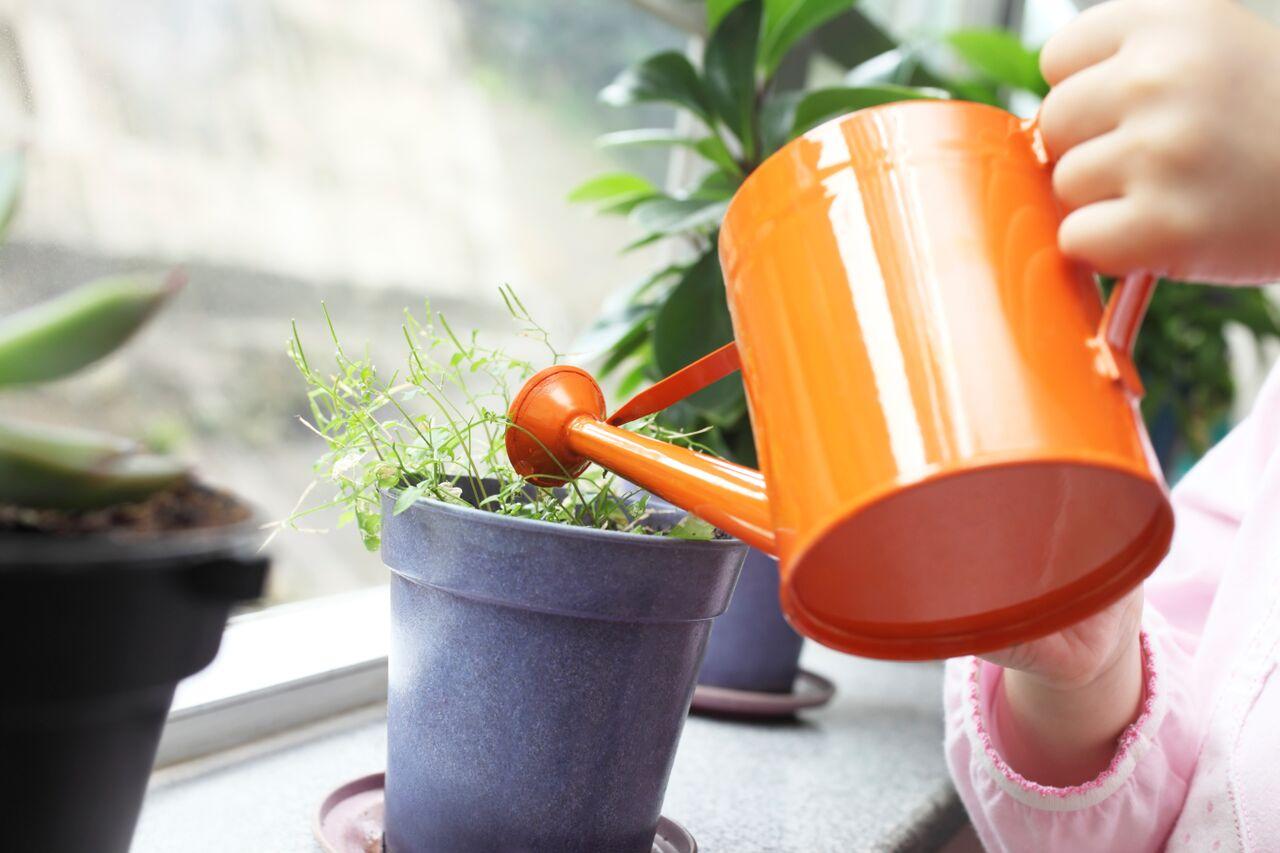 Мелисса душистая выращивание из семян. Выращивание мелиссы на подоконнике