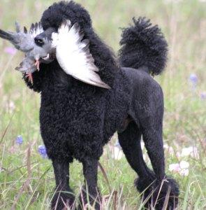 Deaux Rey of Deaux Rey Standard Poodles
