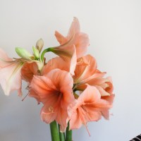 How to Style and care for the Amaryllis