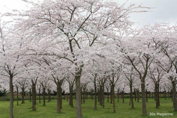 Japanse bloesem park