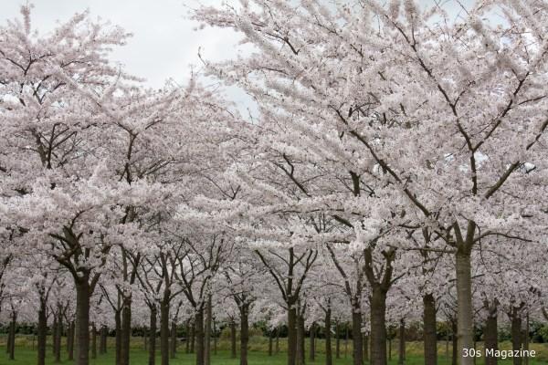 Japanse bloesem park Amsterdamse bos