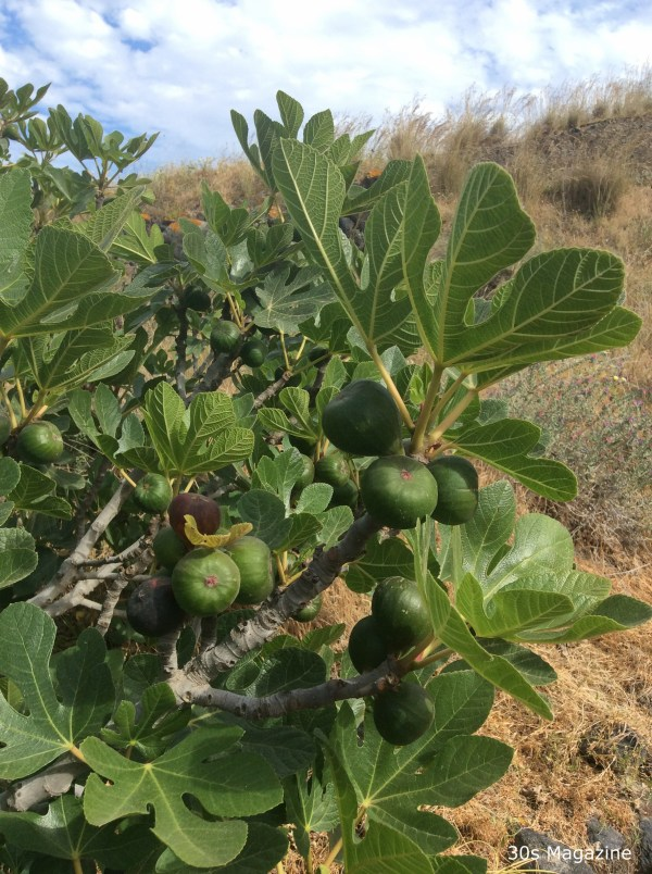 wild fig tree Santorini