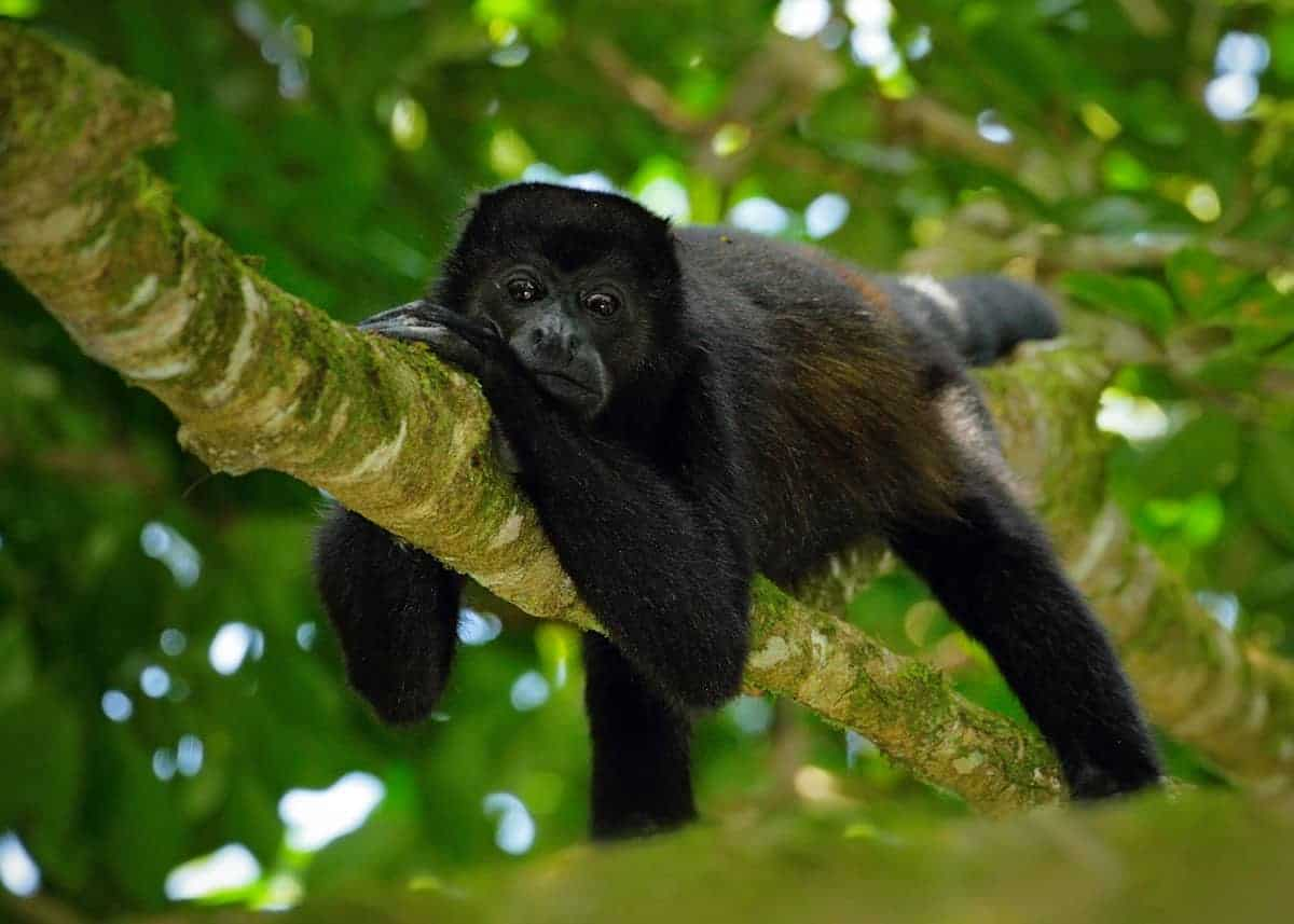 They tower above the forest floor by about 200 feet, with 16 feet trunks. 47 Amazon Rainforest Animals Ecuador S Monkeys Birds Fish Reptiles Mammals Amphibians Storyteller Travel