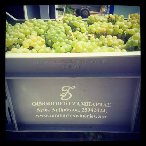 Cyprus Grape harvest has begun.